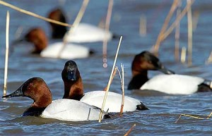 Types of Ducks - Canvasback