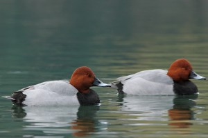 Types of Ducks - Common Pochard