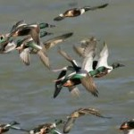 Can Ducks Fly – Do Ducks Fly – Flying Ducks