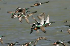Ducks flying - can ducks fly