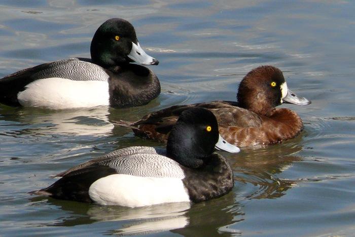 Duck Species Pictures