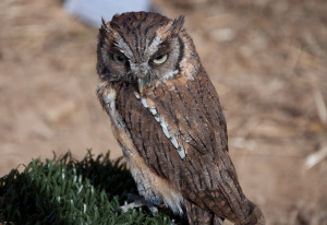 eastern screech owl facts