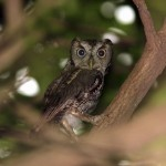 Eastern Screech Owl Facts – Eastern Screech Owl Habitat & Behavior