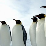 What do Emperor Penguins Eat – Where do Emperor Penguins Live