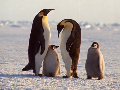 where do emperor penguins live - what do emperor penguins eat