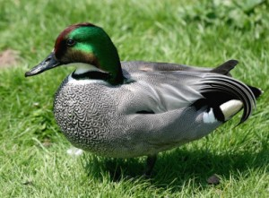 Types of Ducks - Falcated Duck