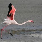 Can Flamingos Fly – Do Flamingos Fly
