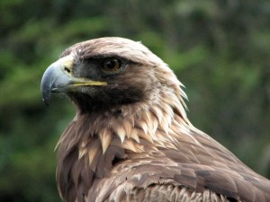 golden eagle - types of eagles