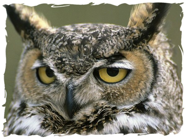 Great horned owl facts - Great horned owl