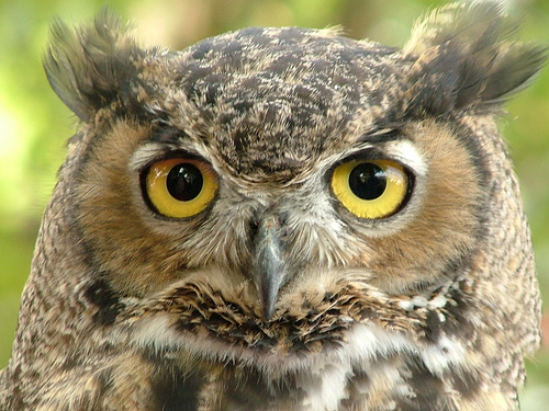 Great Horned Owl Facts For Kids – Great Horned Owl Diet
