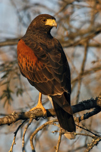 Harris Hawk - types of hawks