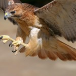 What Do Hawks Eat? – Where Do Hawks Live?