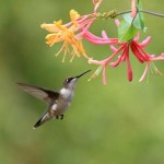 Hummingbird Facts for Kids – Hummingbird Species & Diet Facts