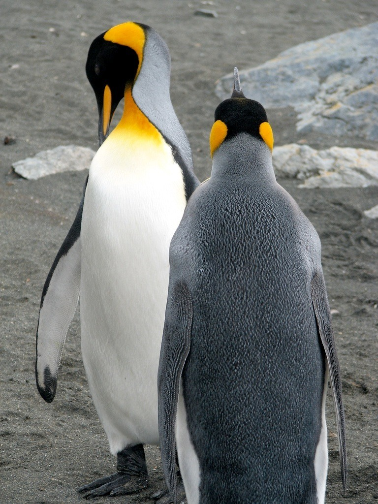 King Penguin Facts for Kids – King Penguin Diet & Reproduction