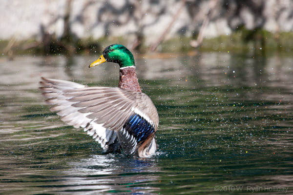 Mallard Duck Facts - Mallard duck