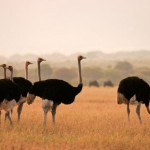 Ostrich Facts for Kids – Amazing Facts about Ostriches For Kids