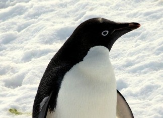 what do penguins eat? - Penguin in snow