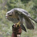 Peregrine Falcon Facts For Kids – Peregrine Diet & Behavior
