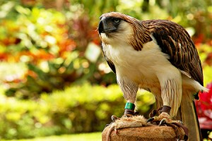 philippine eagle - Types of eagles