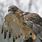 Red Tailed Hawk Facts for Kids – Red tailed Hawk Behavior & Diet