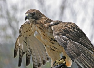 red-tailed hawk facts