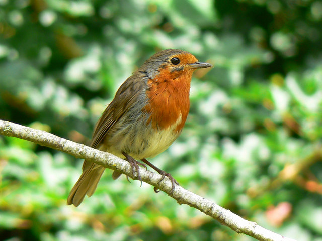robin bird facts - robin bird