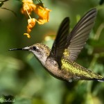 Ruby throated Hummingbird Facts – What Do Ruby throated Hummingbirds Eat?