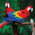Scarlet Macaw Facts – Scarlet Macaw Diet & Behavior