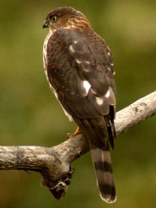 types of hawks - sharp-shinned hawk