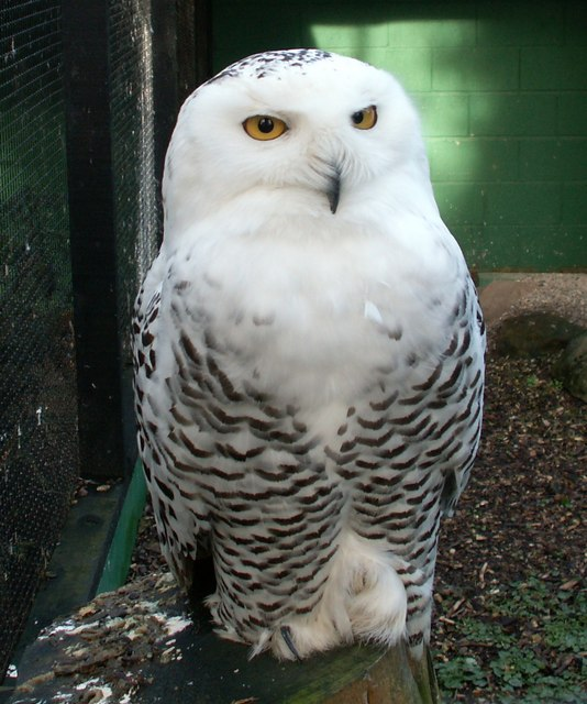 Snowy Owl Facts for Ki...