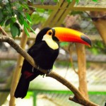 Facts about Toucans – What do Toucans Eat