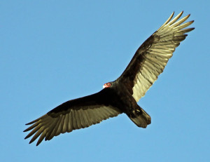 turkey vulture facts