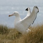 Wandering Albatross Facts – Wandering Albatross Habitat & Diet Facts