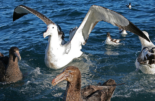wandering albatross facts