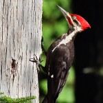 Types of Woodpeckers – What Do Woodpeckers Eat?