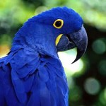 Hyacinth Macaw Facts – Hyacinth Macaw Habitat & Diet
