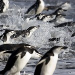 Chinstrap Penguin Facts For Kids – What Do Chinstrap Penguins Eat – Where Do Chinstrap Penguins Live