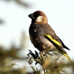 Types of Finches - Arabian Grosbeak
