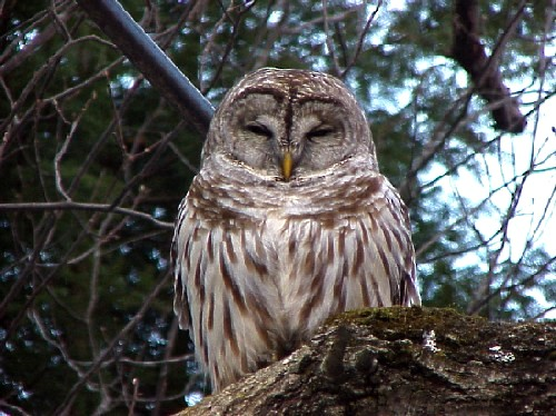 barred owl facts - barred owl