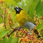 types of finches - Black-faced Grosbeak