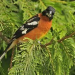 types of finches - Black-headed Grosbeak
