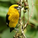 Types of Finches - Black-thighed Grosbeak