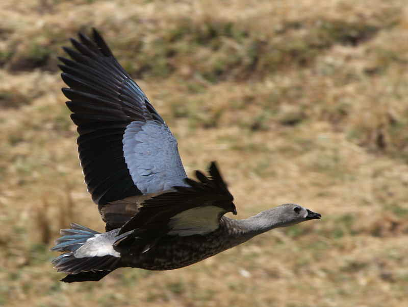 Blue-winged Goose - types of geese