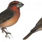 Types of Finches - Bonin grosbeak