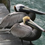 Brown Pelican Facts – Brown Pelicans Habitat – Brown Pelicans Diet
