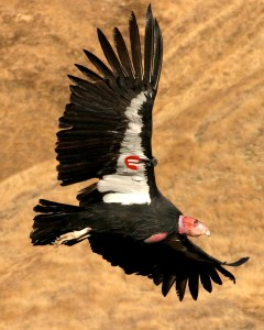 california condors facts - california condor