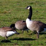 Canadian Goose - types of geese