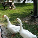 Chinese goose - types of geese