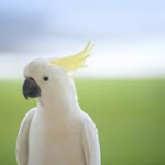 Cockatoo as a Pet – Do Cockatoos Make Good Pets