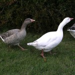 Cotton Patch Goose - types of geese
